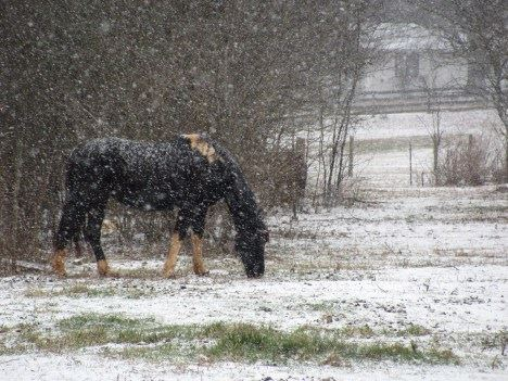 Horse named Patches grazing in a snowy field